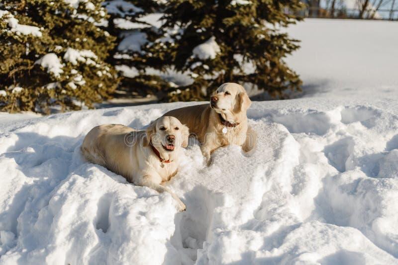Tv? labrador hundkappl?pning i sn?n royaltyfri fotografi