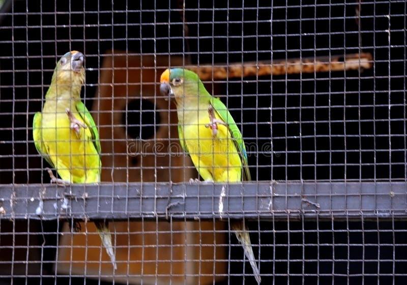 Tv? papegojor i bur arkivfoto