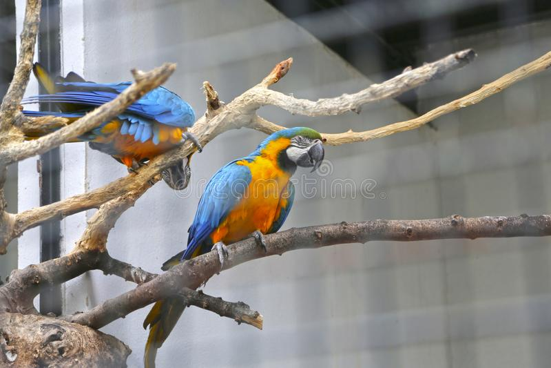 Tv? papegojor som sitter p? en filial royaltyfri bild