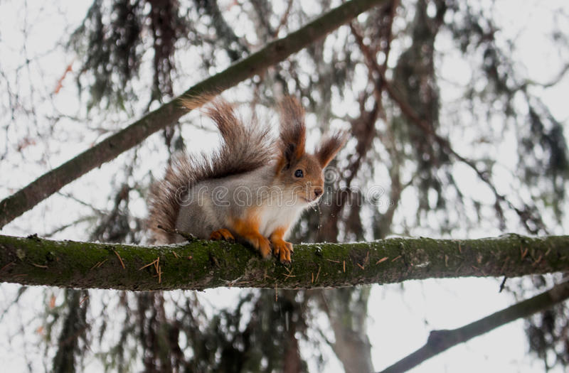 TV towersquirrel. Squirrel in park in state gomel stock photos