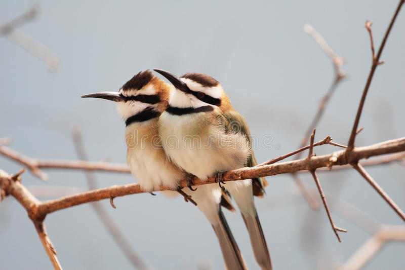 Tvilling- fåglar som står på trädfilial arkivbild
