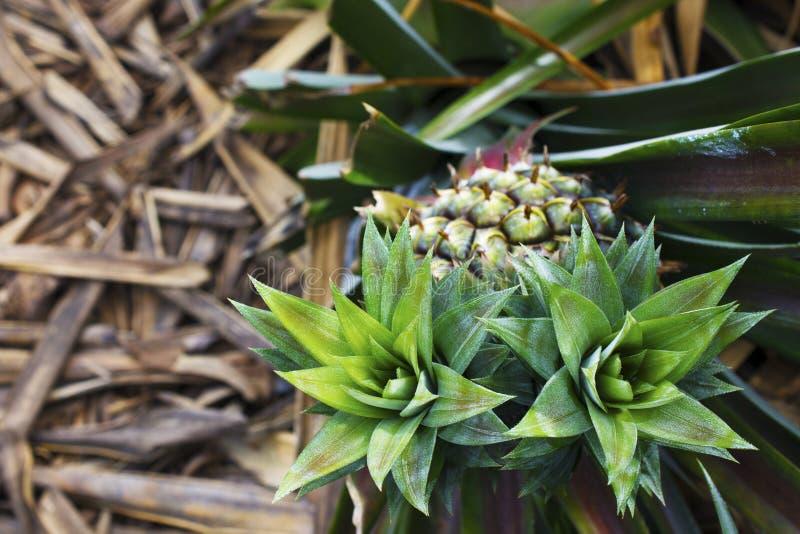 Tvilling- huvud av ananasträdet och suddighetsbakgrund royaltyfri bild