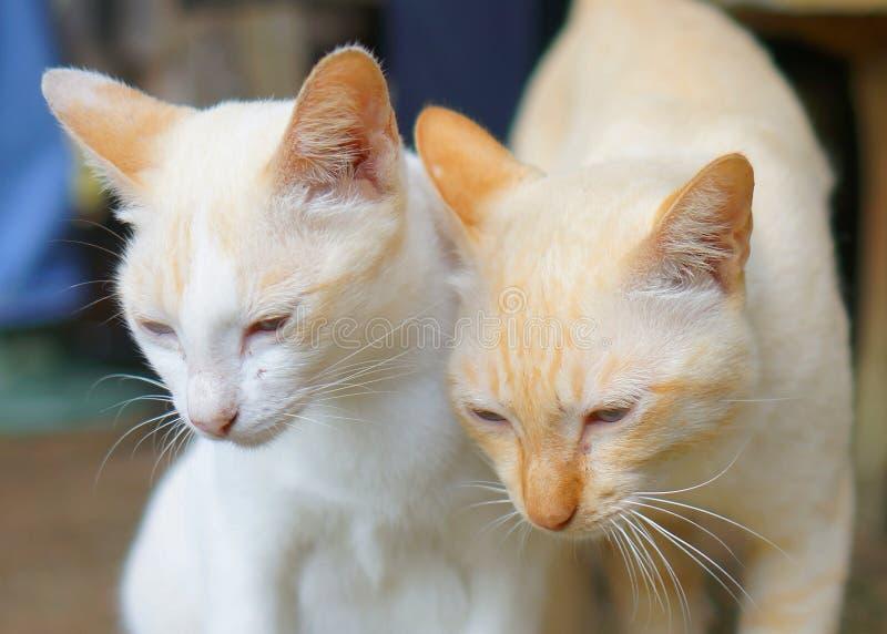 Tvilling- katter royaltyfria bilder