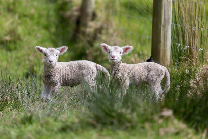 Tvilling- lamm royaltyfri fotografi