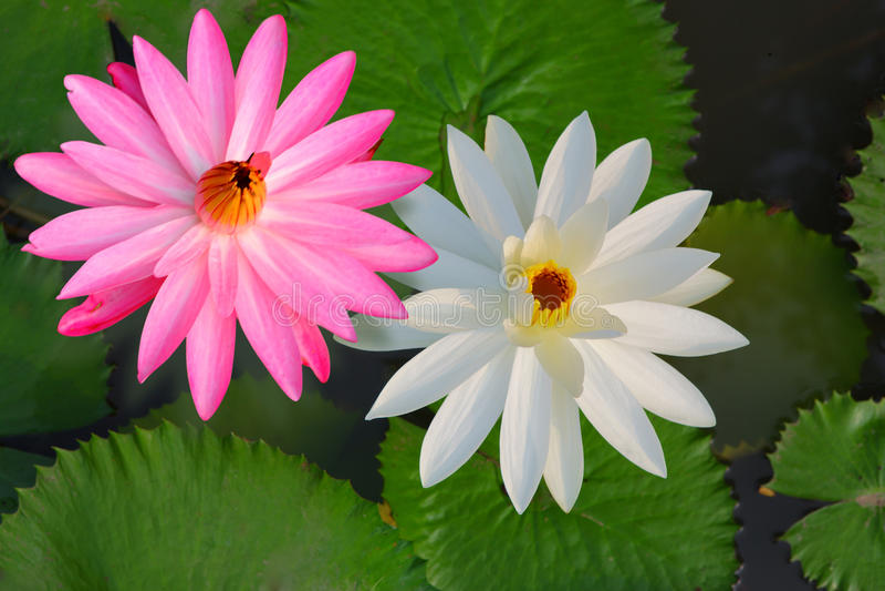 Tvilling- Lotus arkivfoton