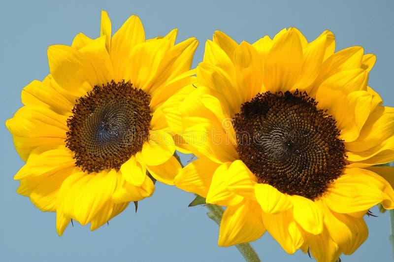 Tvilling- solrosor fotografering för bildbyråer