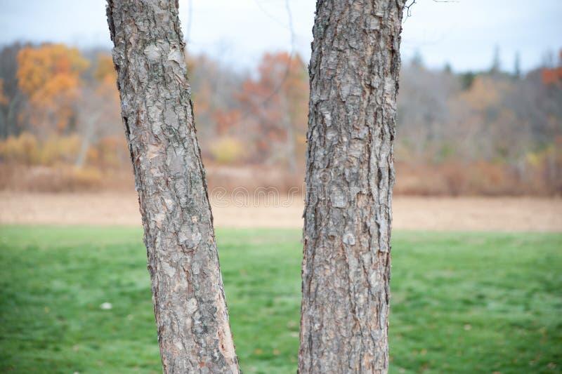 Tvilling- träd arkivbilder