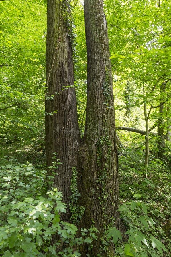 Tvilling- träd i den mest forrest gräsplanen royaltyfria foton