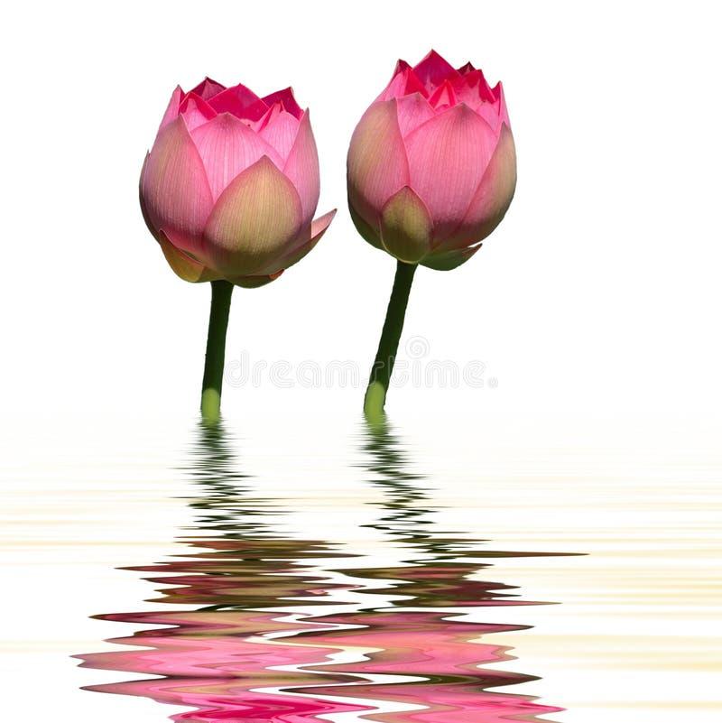 tvilling- vatten för lotusblommareflexion royaltyfri bild