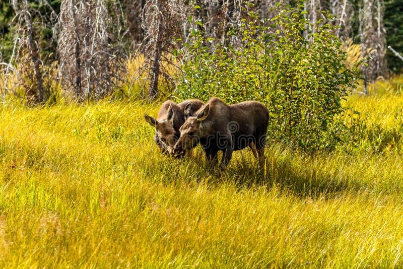 Tvillingpar för Baby Moose Jackson Hole Wyoming royaltyfria bilder