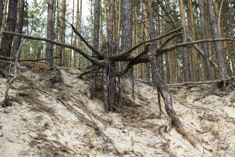 Tvingat fram rotar av stort träd i sanden royaltyfria bilder