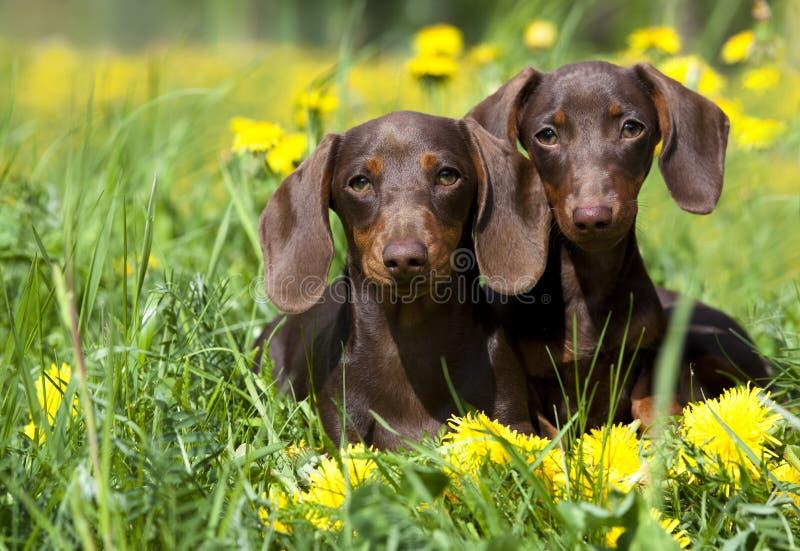 Tvo dachshund and dandelions stock photo