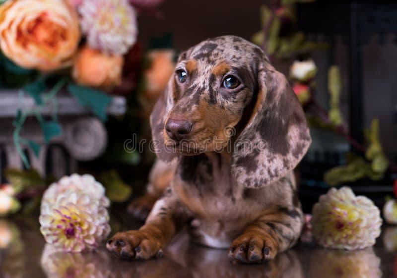Dog portrait in autumn background. Tvo Dachshund dog portrait autumn background royalty free stock photos