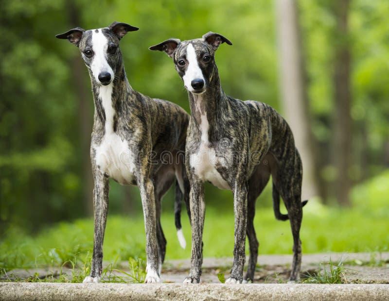 Tvo do cão de corrida imagens de stock royalty free