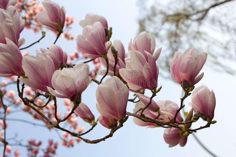 Twój wiosny magnolia zdjęcia royalty free
