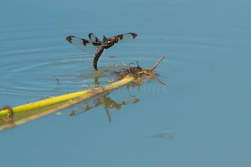 Twaalf-bevlekte Schuimspaanlibel - libellulapulchella royalty-vrije stock foto