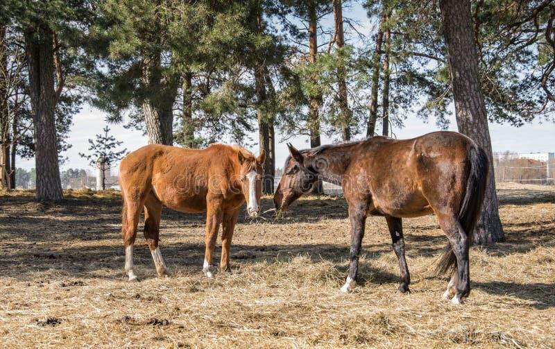 Twain beautiful horses.Two horses graze in the meadow. royalty free stock photos