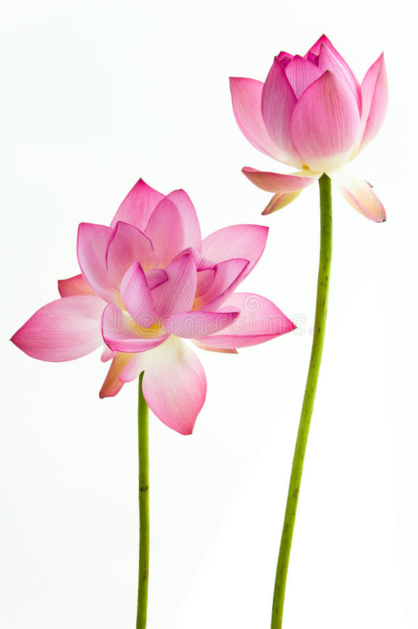 Twain pink water lily flower (lotus) royalty free stock photography