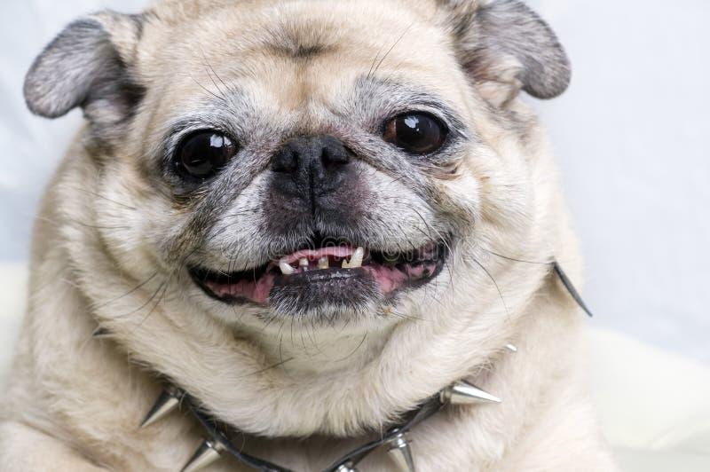 twarz śmieszne mopsa się uśmiecha obrazy stock