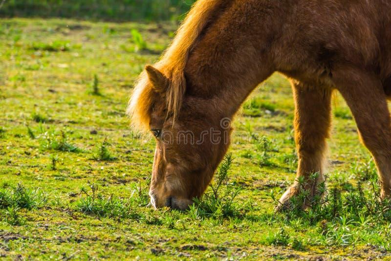 Twarz brązu koń w zbliżeniu, konika łasowania trawa w paśniku obrazy stock