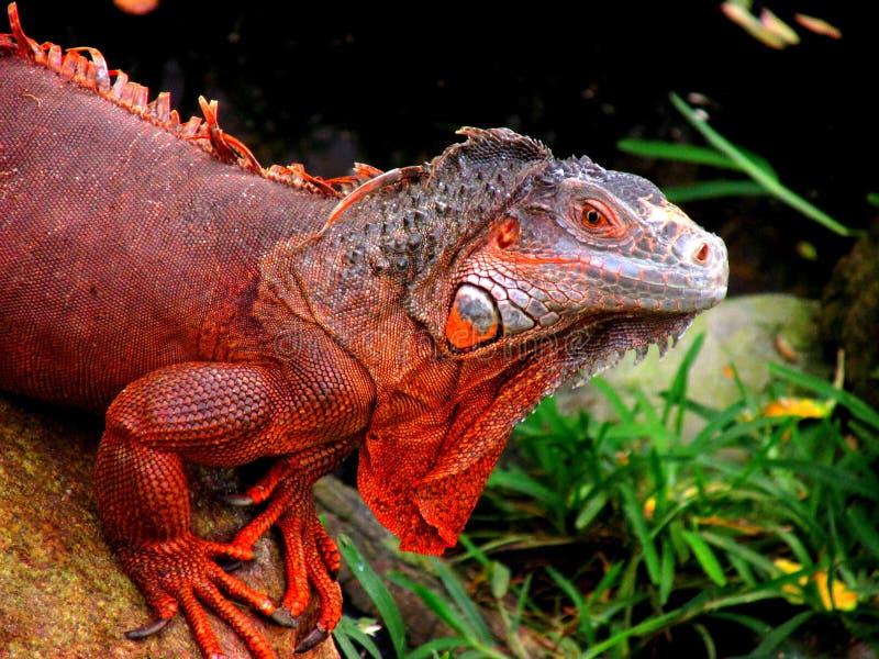 Twarz czerwona iguana zdjęcia stock