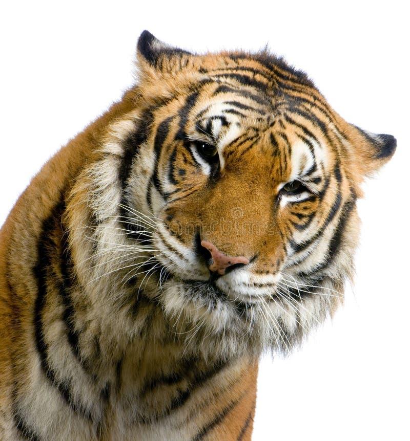 twarz jest tygrys fotografia royalty free