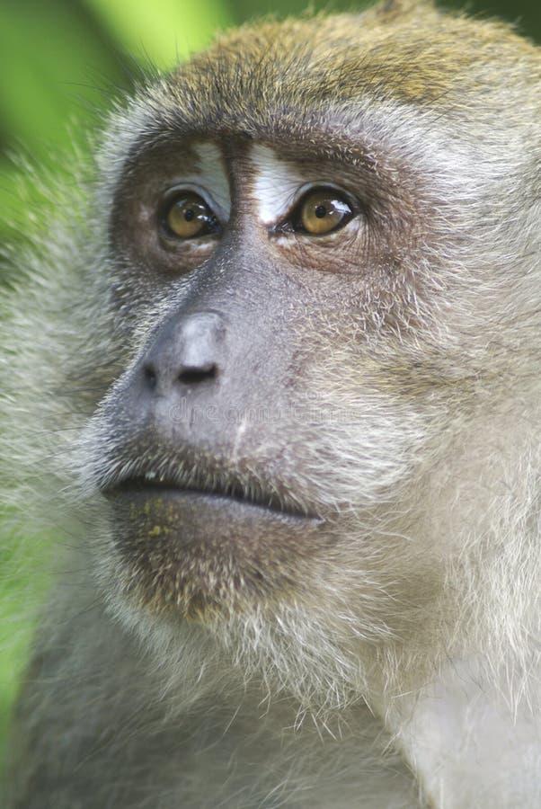 twarz makaka długi ogon zdjęcie stock