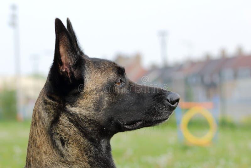 Twarz Malinois Belgijski Pasterski pies baczny rozkazy z skocznym i szczęśliwym spojrzeniem fotografia royalty free