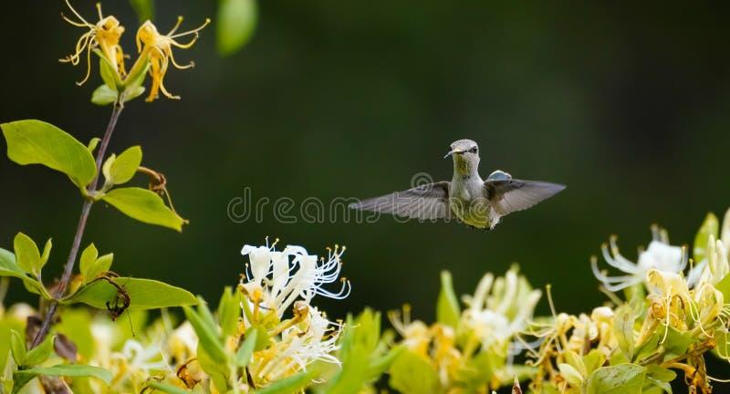 Twarz widok Hummingbird z nim jest jęzorem Za zdjęcia royalty free