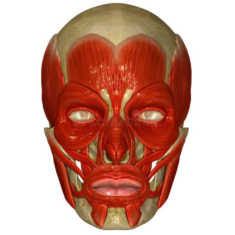 Twarzowi mięśnie na czaszce royalty ilustracja