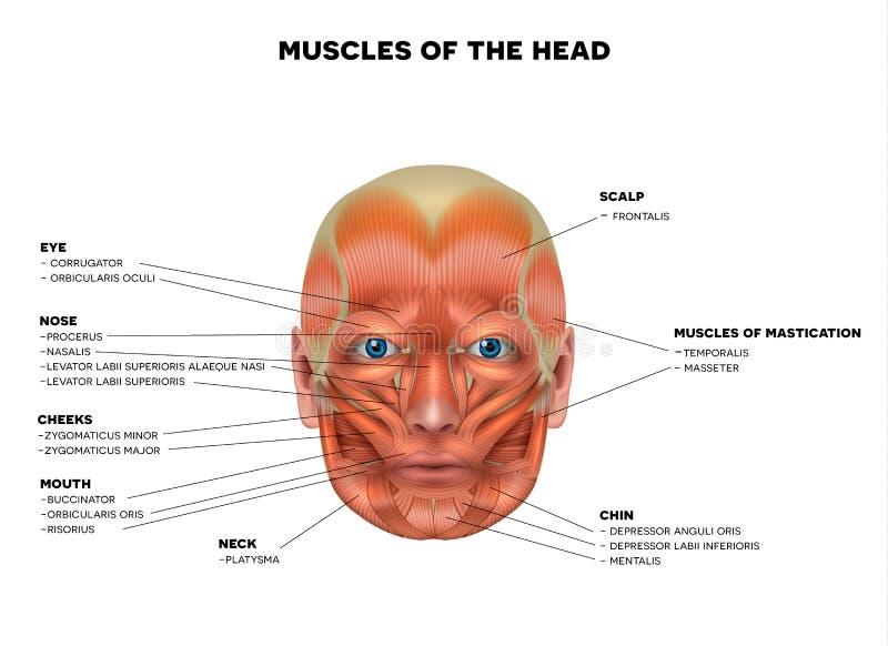 Twarzy i głowy mięśnie royalty ilustracja