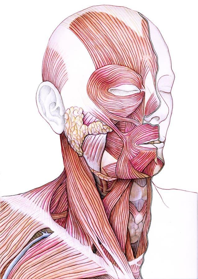 twarzy mięśni szyja ilustracji