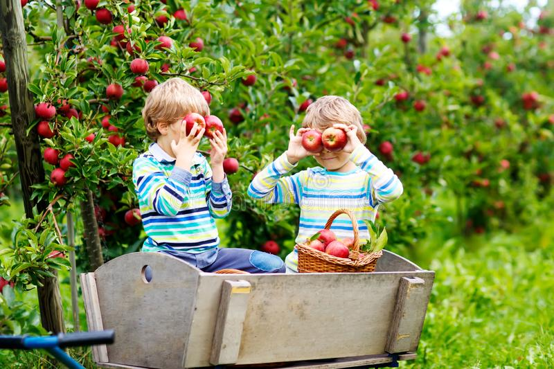 Twee aanbiddelijke gelukkige kleine jonge geitjesjongens die en rode appelen op organisch landbouwbedrijf, de herfst in openlucht stock fotografie