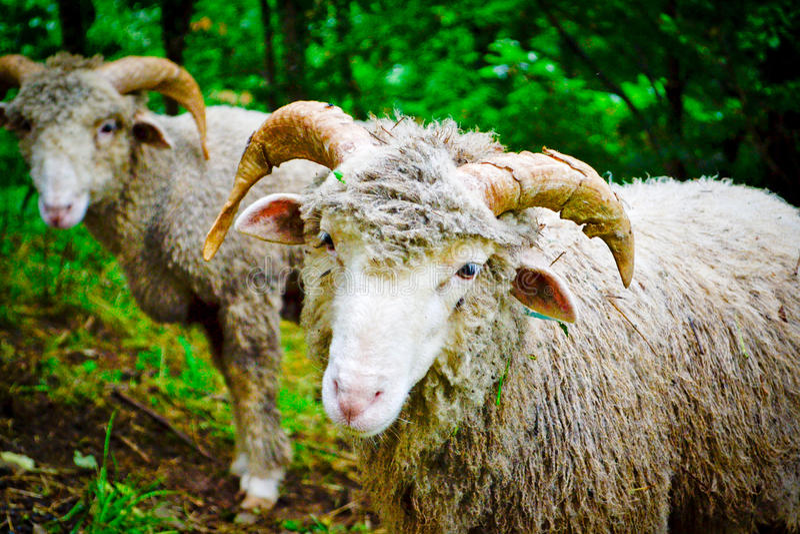 Twee aardige sheeps royalty-vrije stock foto