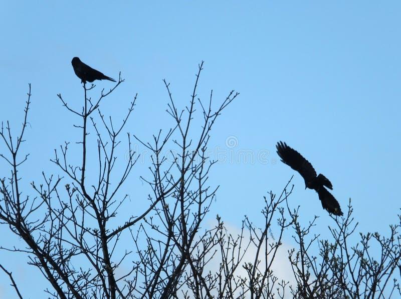 Twee aaskraaien in silhouet met één en één die streken in takken neer tegen een blauwe de lentehemel vliegen royalty-vrije stock foto