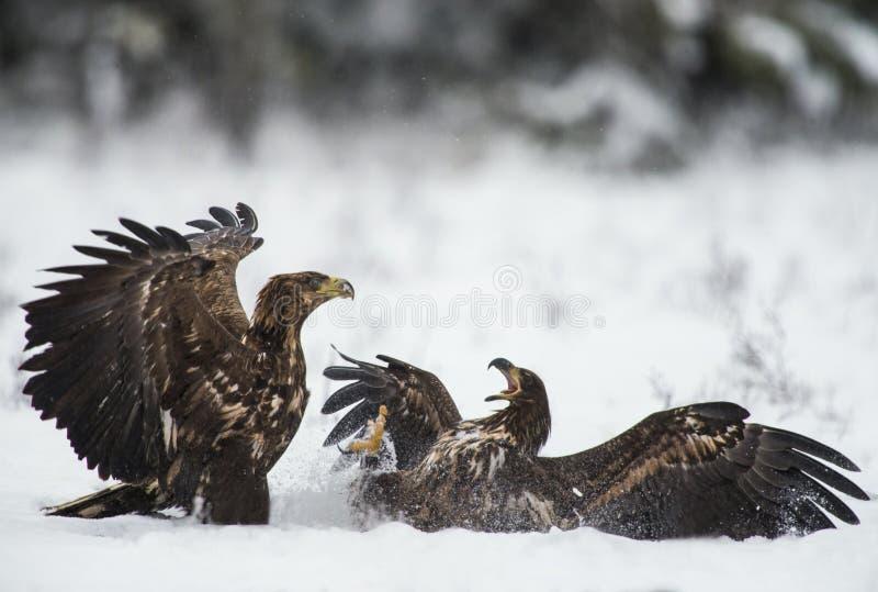 Twee adelaars in een strijd stock fotografie