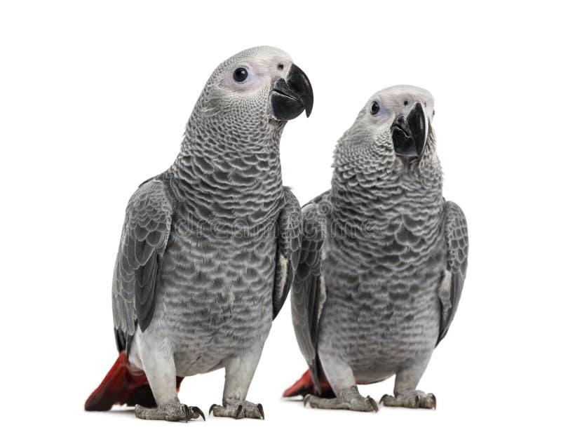 Twee Afrikaans Grey Parrot (3 maanden oud) royalty-vrije stock foto's