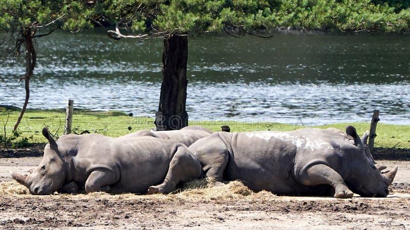 Twee Afrikaanse breed-lipped rinocerosslaap royalty-vrije stock afbeeldingen