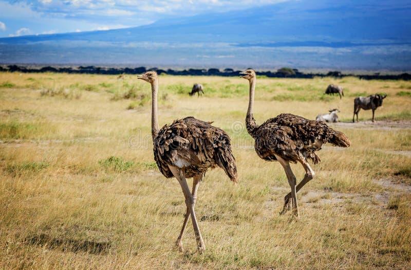 Twee Afrikaanse Struisvogelvogels in Kenia stock afbeeldingen