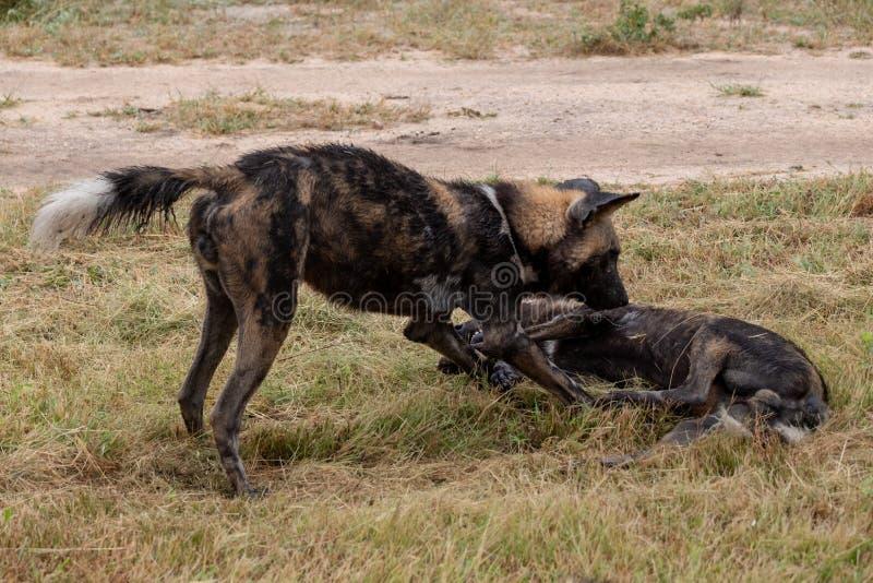 Twee Afrikaanse wilde honden die, een deel van een groter die pak spelen in Sabi Sands Game Reserve, Kruger, Zuid-Afrika wordt ge royalty-vrije stock afbeeldingen