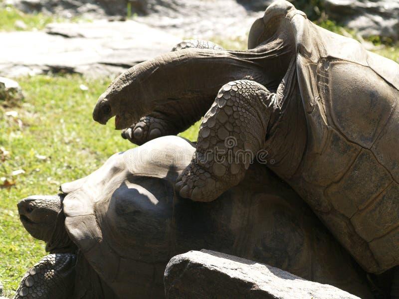 Twee Aldabra-Schildpadden die 1 koppelen stock afbeeldingen