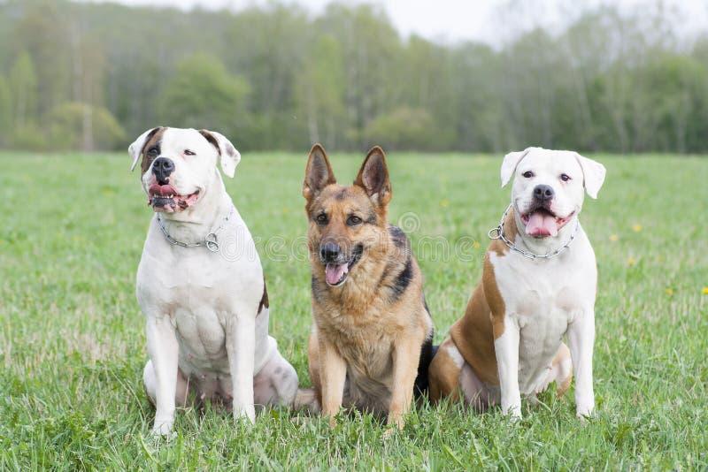 Twee Amerikaanse buldoggen en één Duitse herdershond royalty-vrije stock foto's