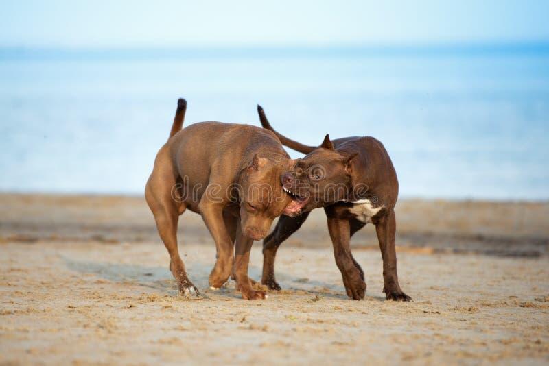 Twee Amerikaanse honden die van kuilbull terrier samen op het strand spelen stock afbeelding