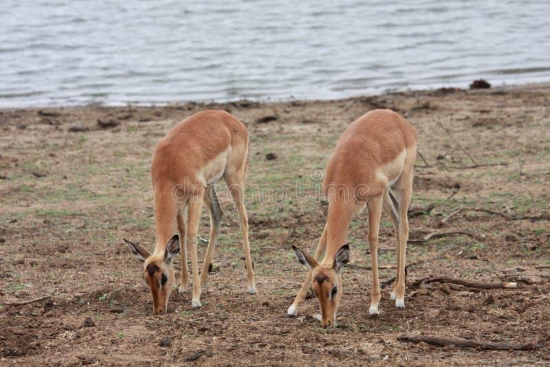 Twee antilopes die door het meer weiden royalty-vrije stock afbeelding