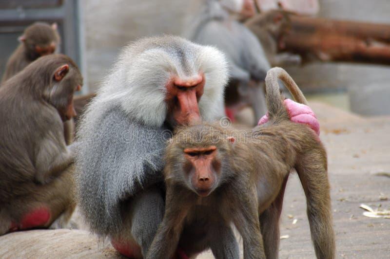 Twee apen royalty-vrije stock foto's