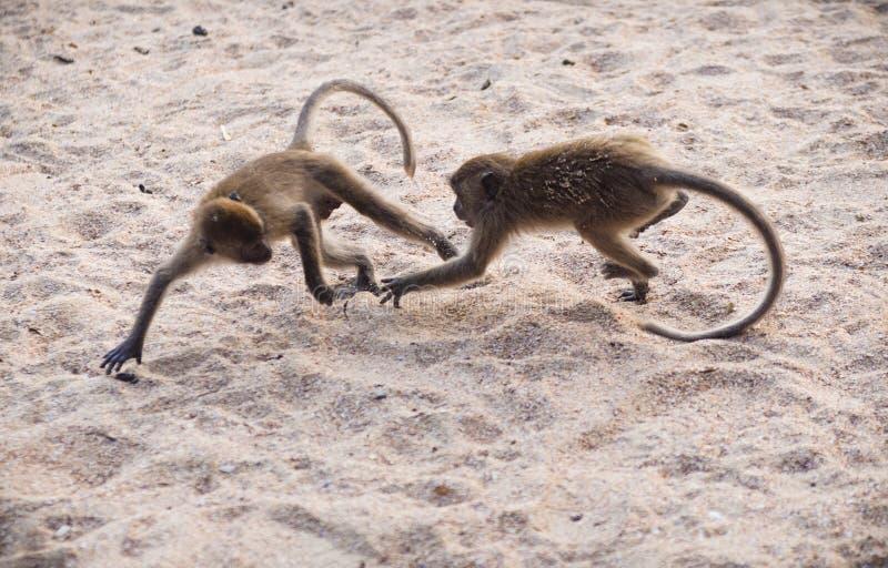 Twee apen die in het zand vechten stock foto's