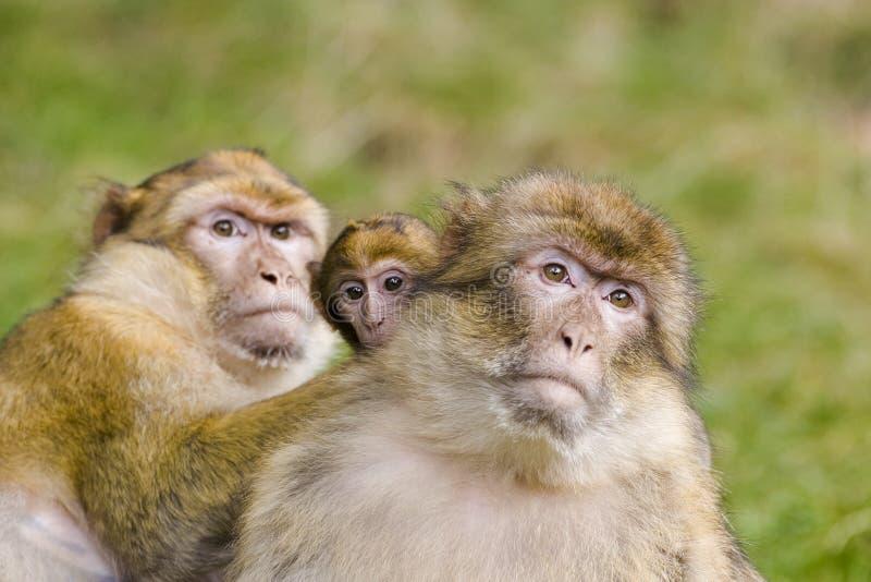 Twee apen met baby stock afbeelding
