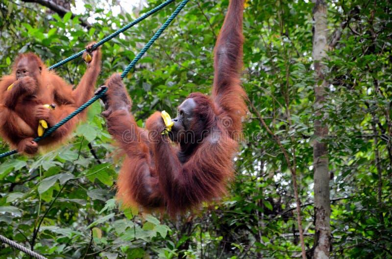 Twee apen van de orang-oetan utan aap op kabels met bananen bij natuurreservaat Kuching Sarawak Maleisië stock afbeeldingen