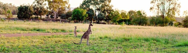 Twee Australische Kangoeroes die naar The Sun kijken stock afbeeldingen