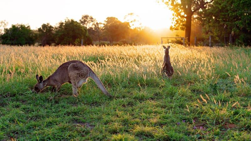 Twee Australische Kangoeroes op een Gebied bij Zonsondergang stock fotografie